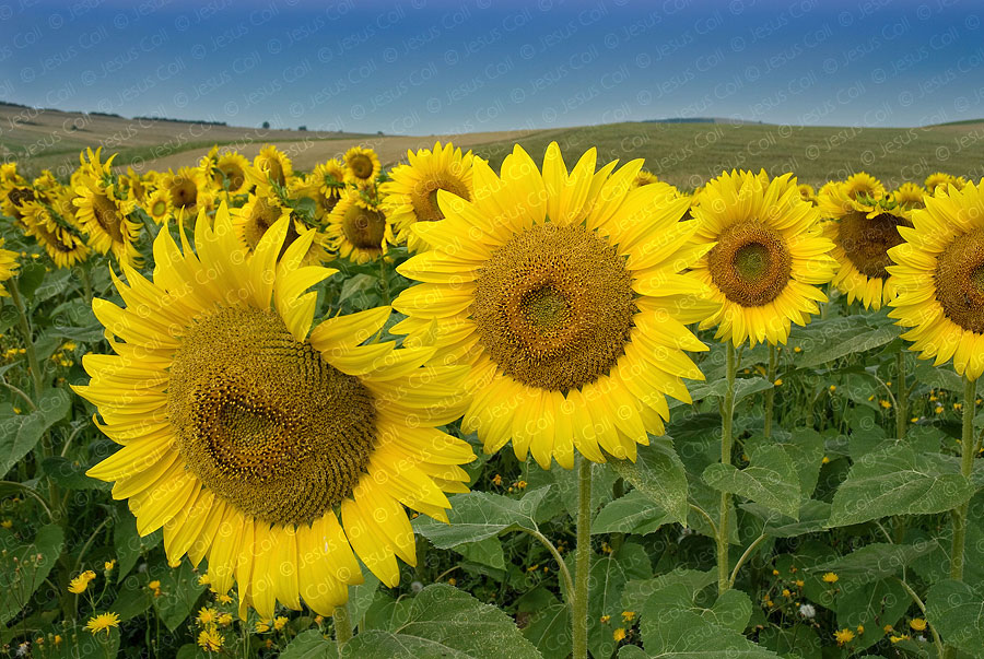 Sunflowers field, Romania