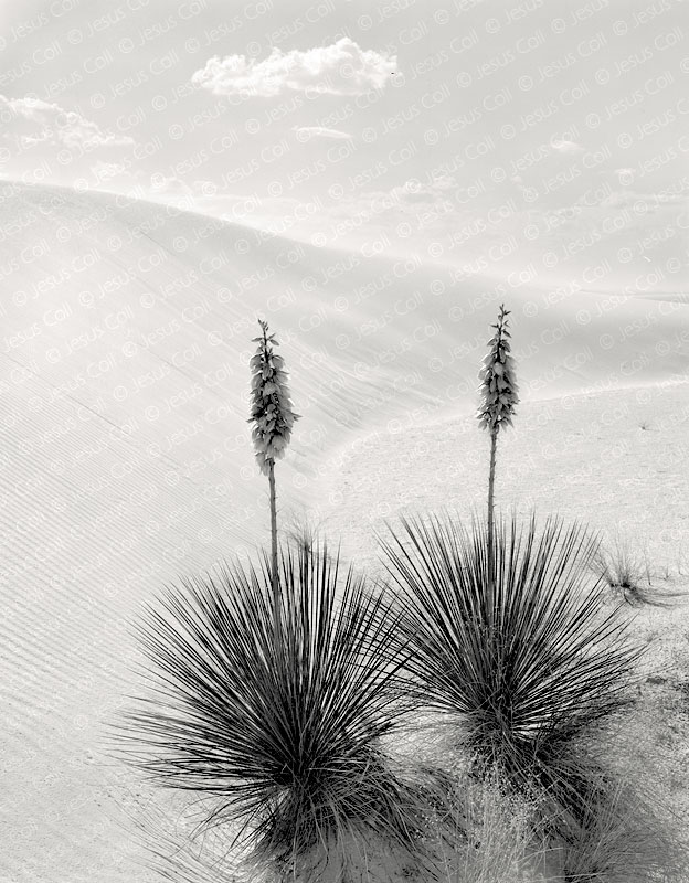 Yucas, White Sands, New Mexico, USA by Jesus Coll