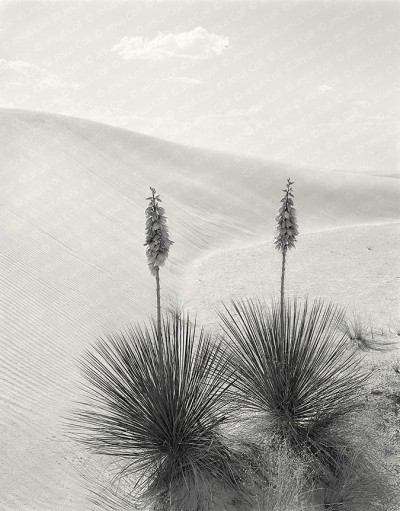 Yucas, White Sands, New Mexico, USA de Jesus Coll