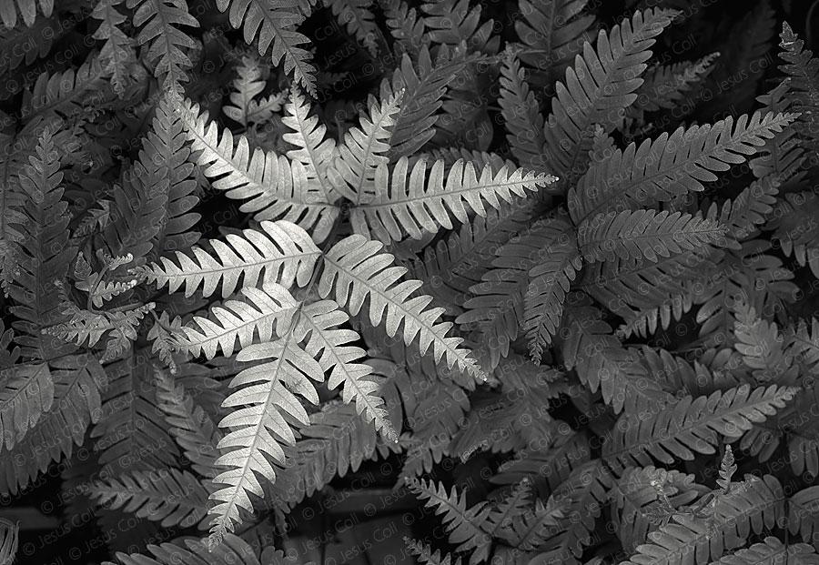 Helecho, Fern. Fotografía Fine Art de Paisaje Natural en Blanco y Negro de Jesús Coll